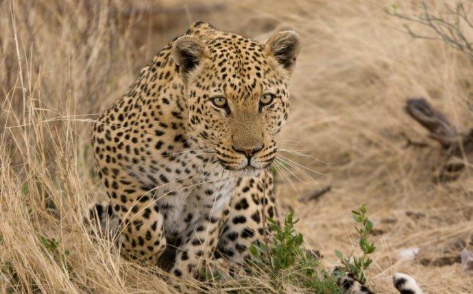 Leopard Symbolism | Leopard meaning | Spirit Animal Totem Messages