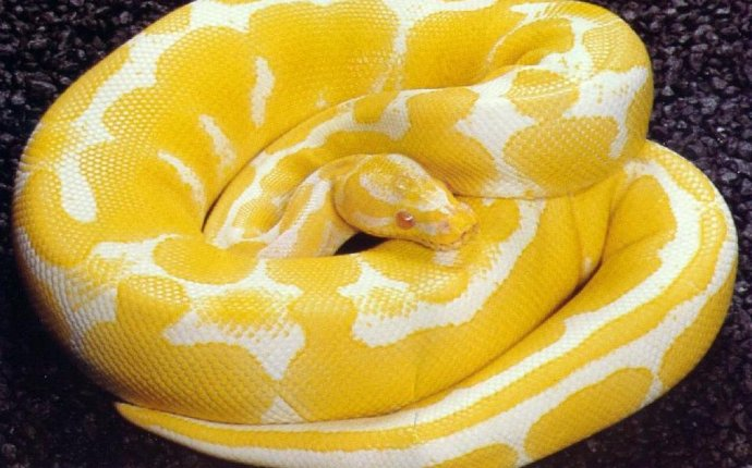 Outlook To My Spiritual Realms: Yellow Snakes in My Dream