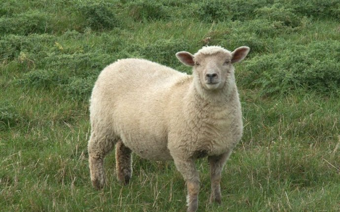 Sheep Dream Meaning and Interpretations